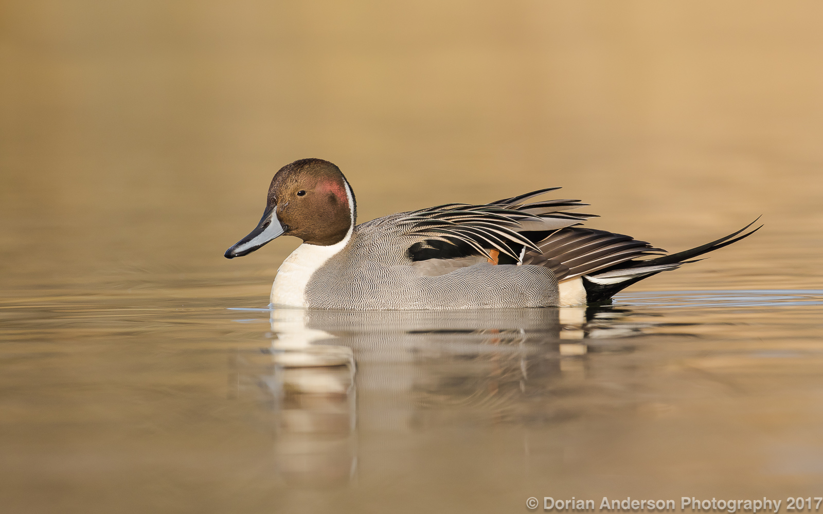 Name:  northern pintail 120417.jpg