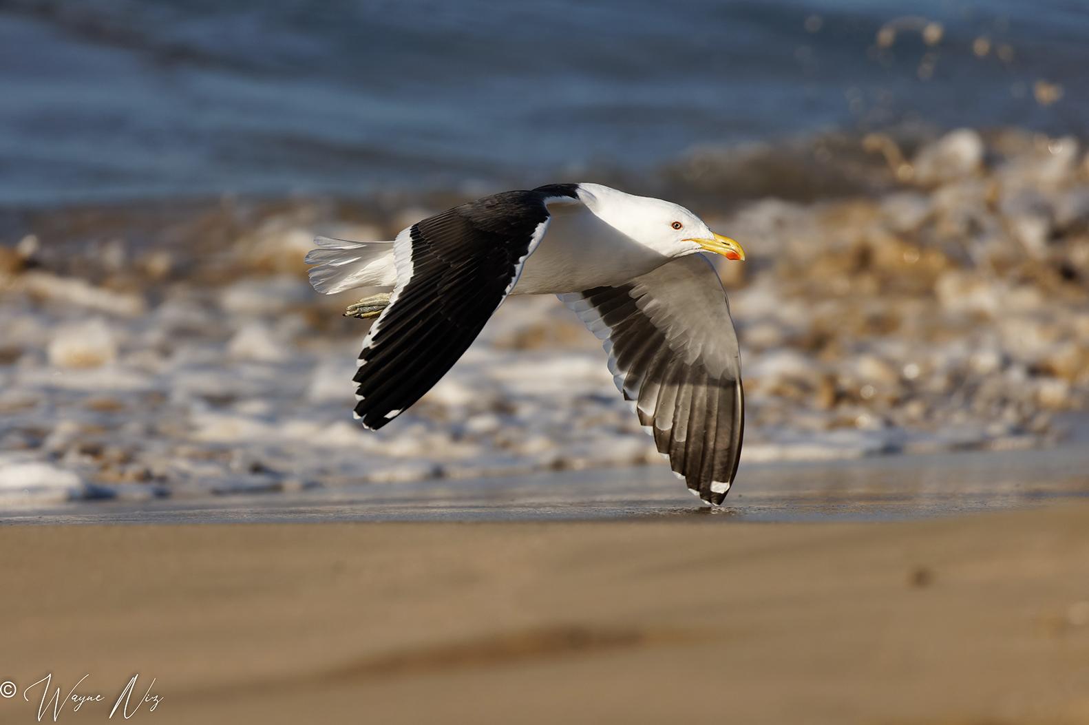 Name:  Gull Small.jpg Views: 94 Size:  594.9 KB