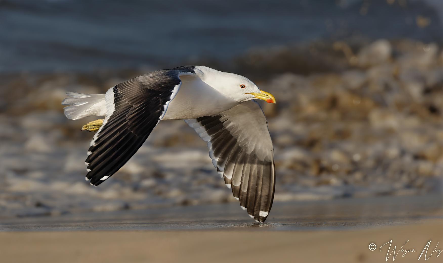 Name:  Gull Small 2.jpg Views: 56 Size:  598.3 KB