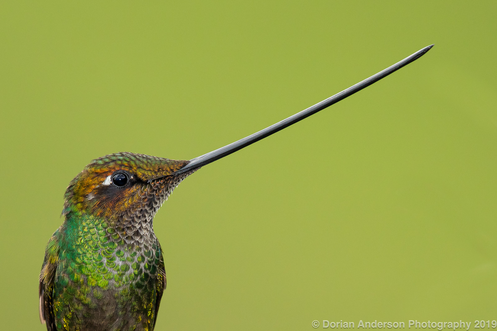 Name:  sword-billed hummingbird head 070319.jpg