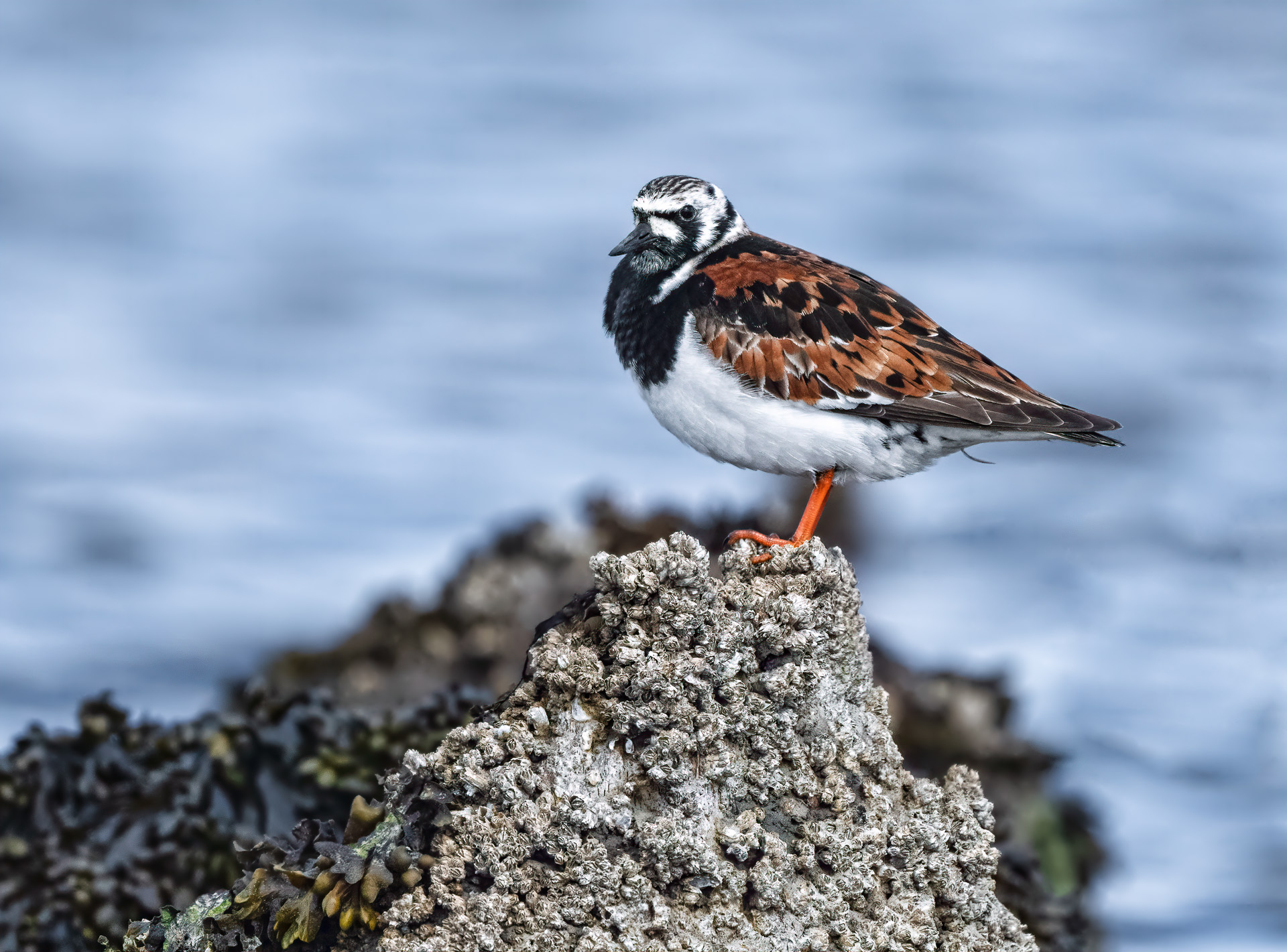 Name:  Ruddy-Turnstone-3-copy-AIC.jpg