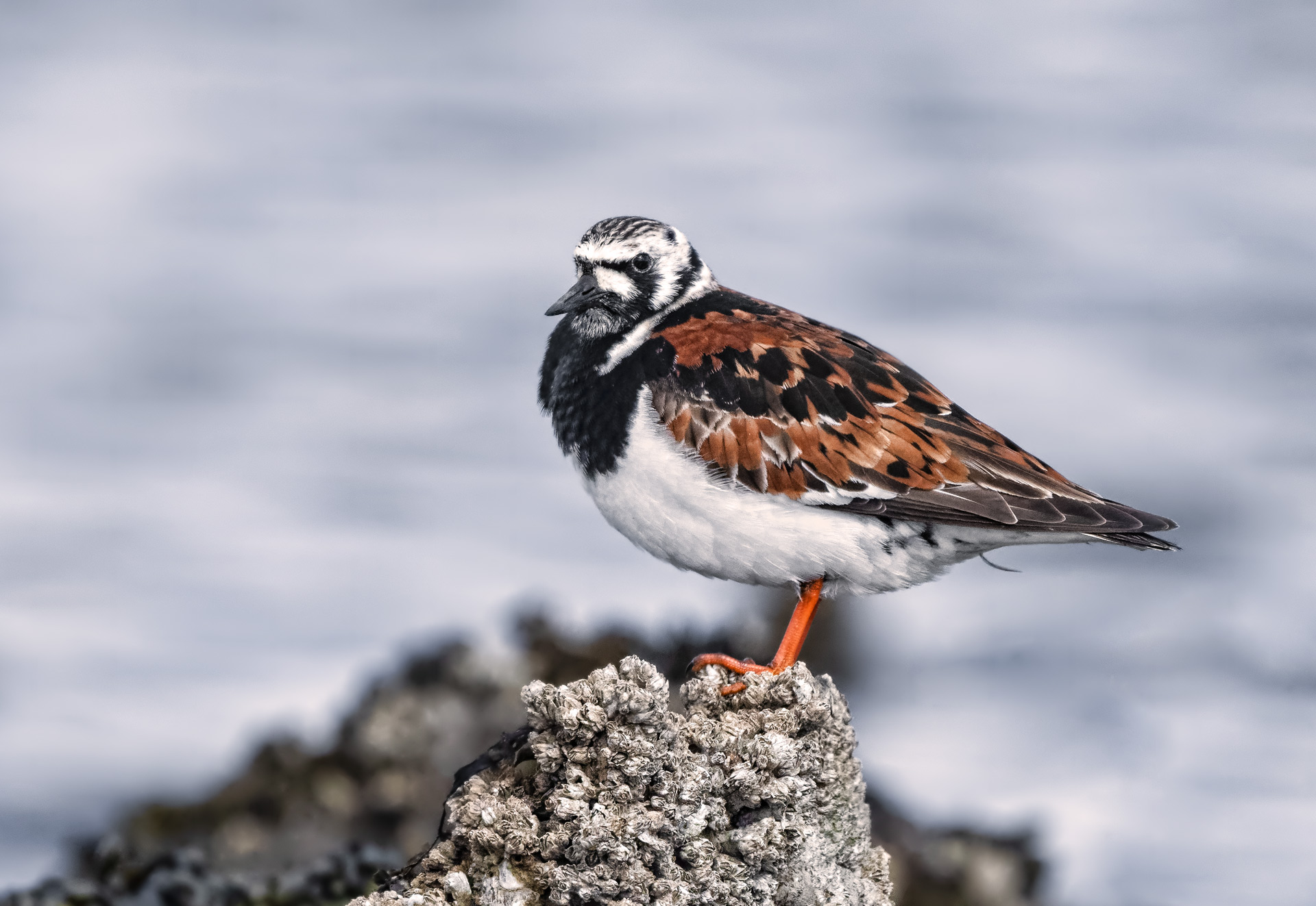 Name:  Ruddy-Turnstone-3a-copy.jpg