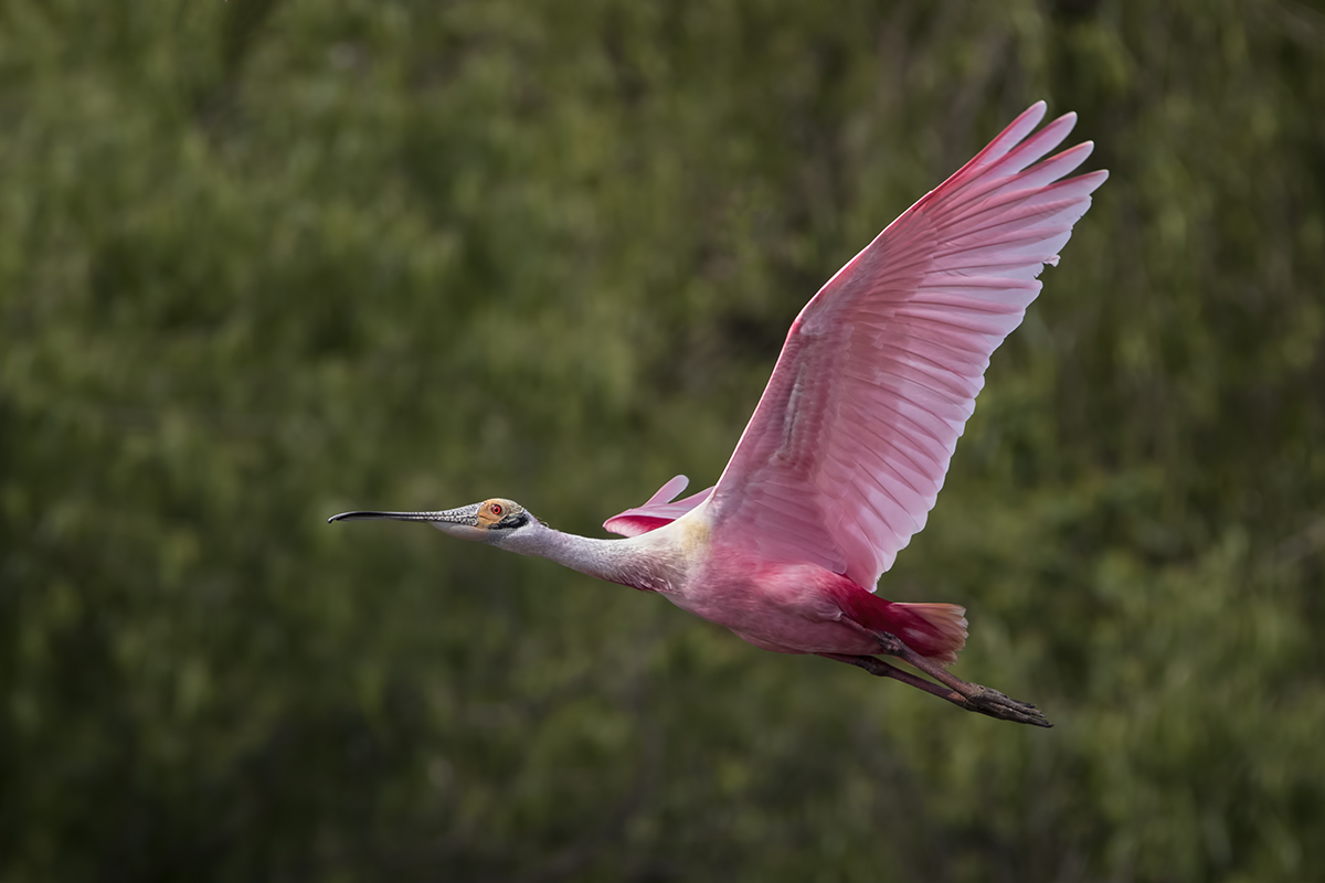 Name:  Spoonbill (28).jpg