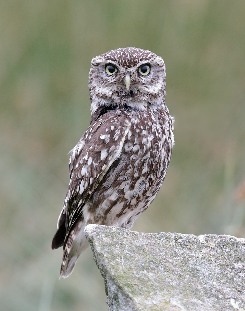 Name:  12800-L'owl-BPN.jpg Views: 284 Size:  386.0 KB