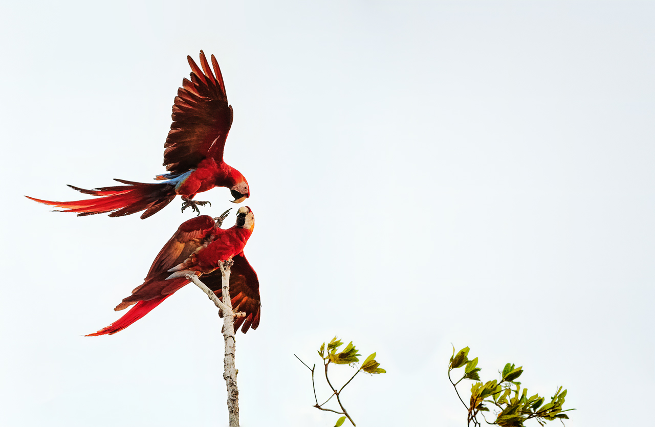 Name:  The-Real-Macaws-2b-copy.jpg Views: 94 Size:  307.5 KB