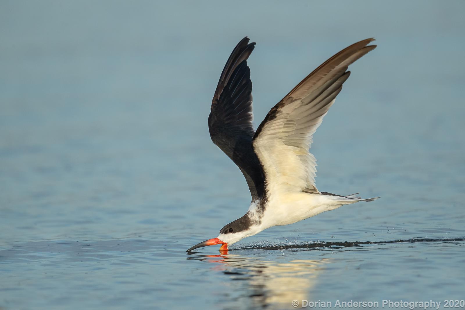 Name:  black skimmer skimming 112020.jpg Views: 113 Size:  555.2 KB