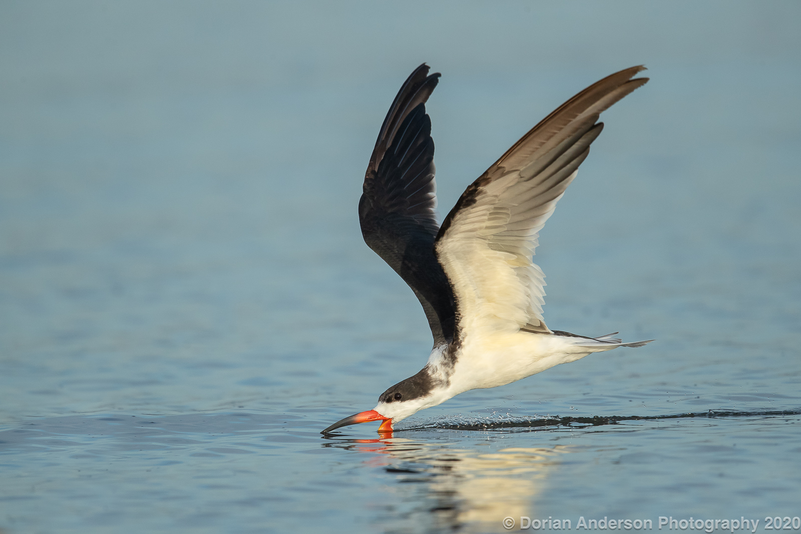 Name:  black skimmer skimming 112020.jpg