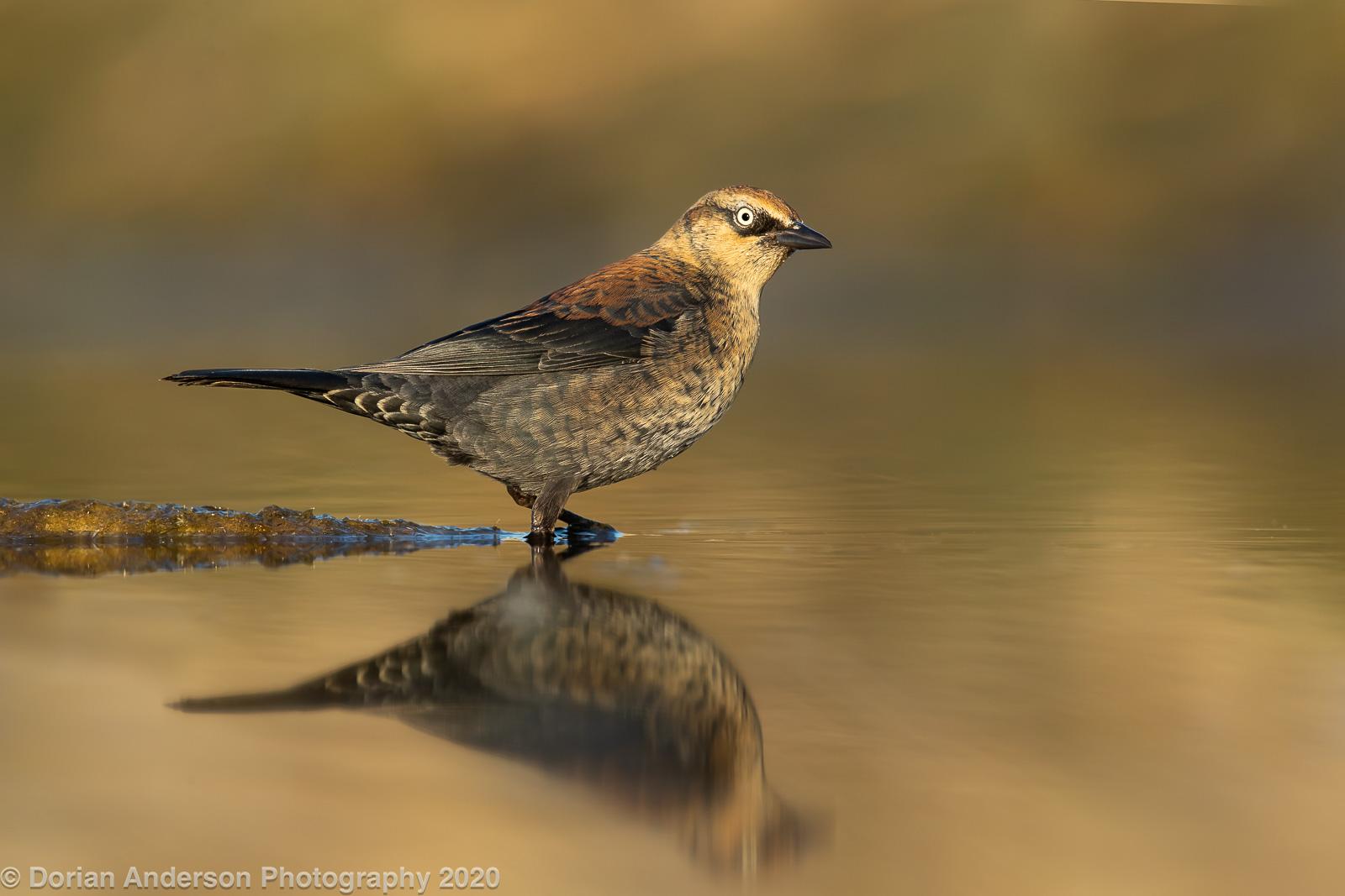 Name:  rusty blackbird on spit 102820.jpg Views: 120 Size:  446.3 KB