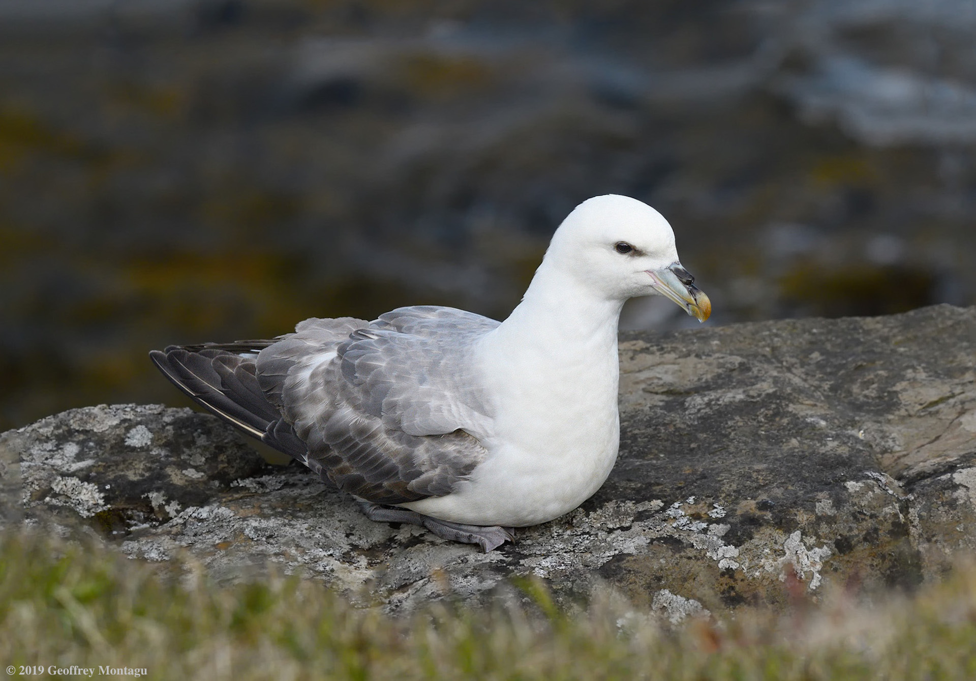 Name:  ©-2019-Geoffrey-Montagu_DSC4296cnnf-Flatey-Island-Northern-Fulmar.jpg Views: 6 Size:  478.7 KB