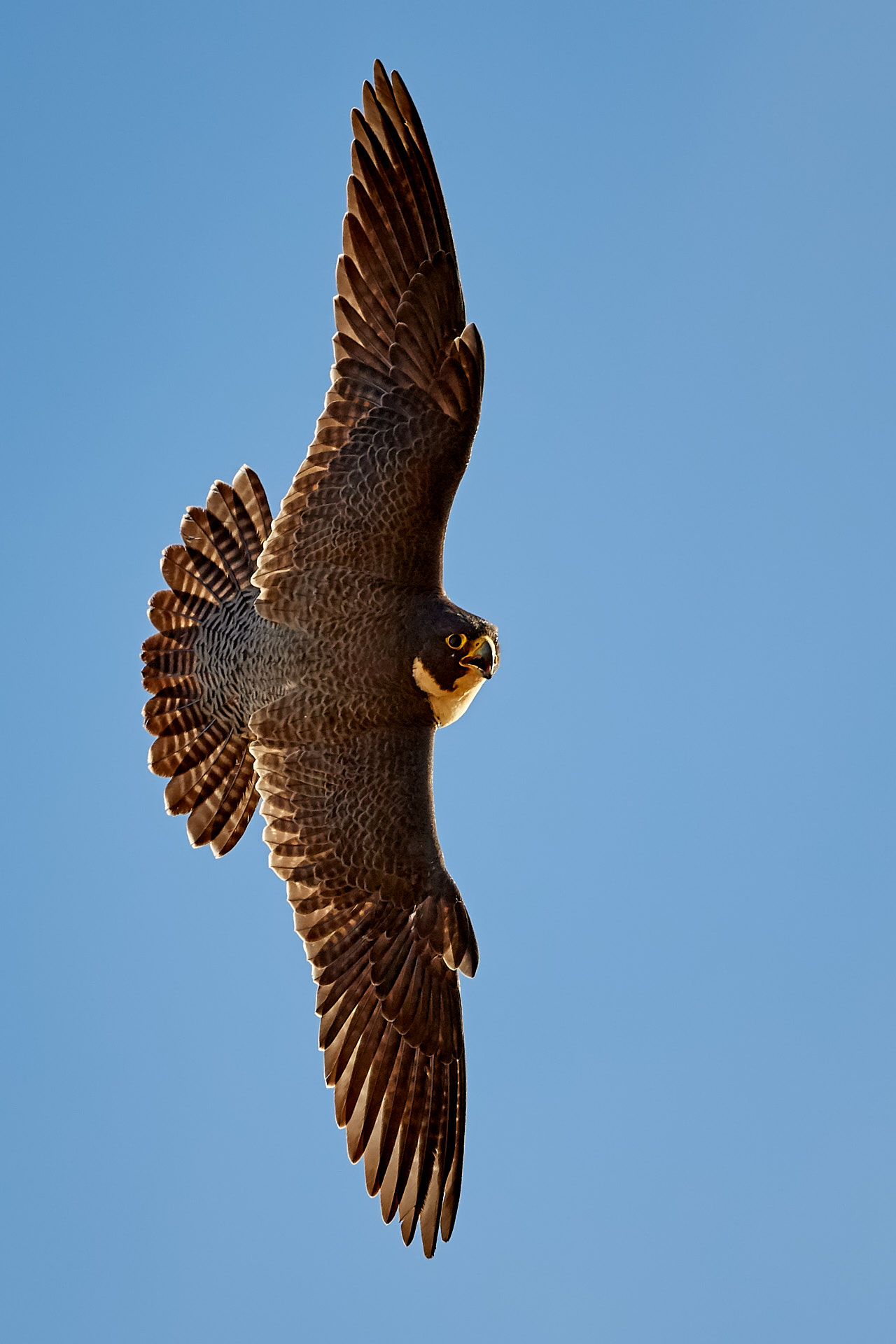 Name:  peregrine falcon 2.jpg