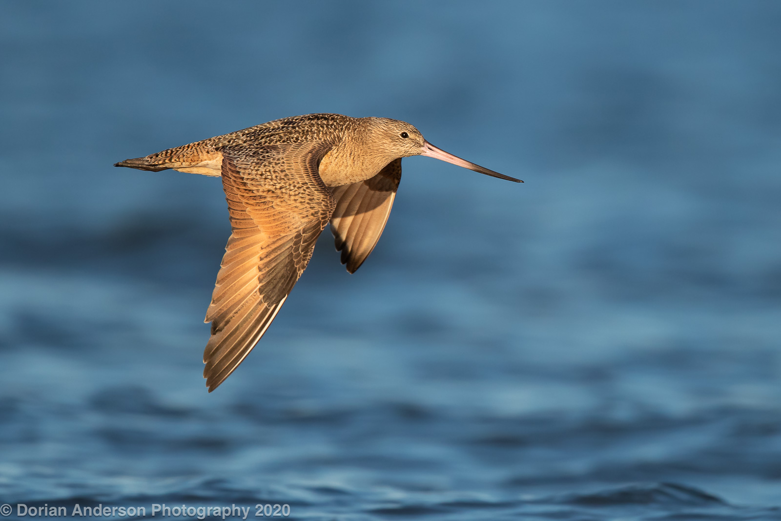 Name:  marbled godwit downstroke water 112020.jpg