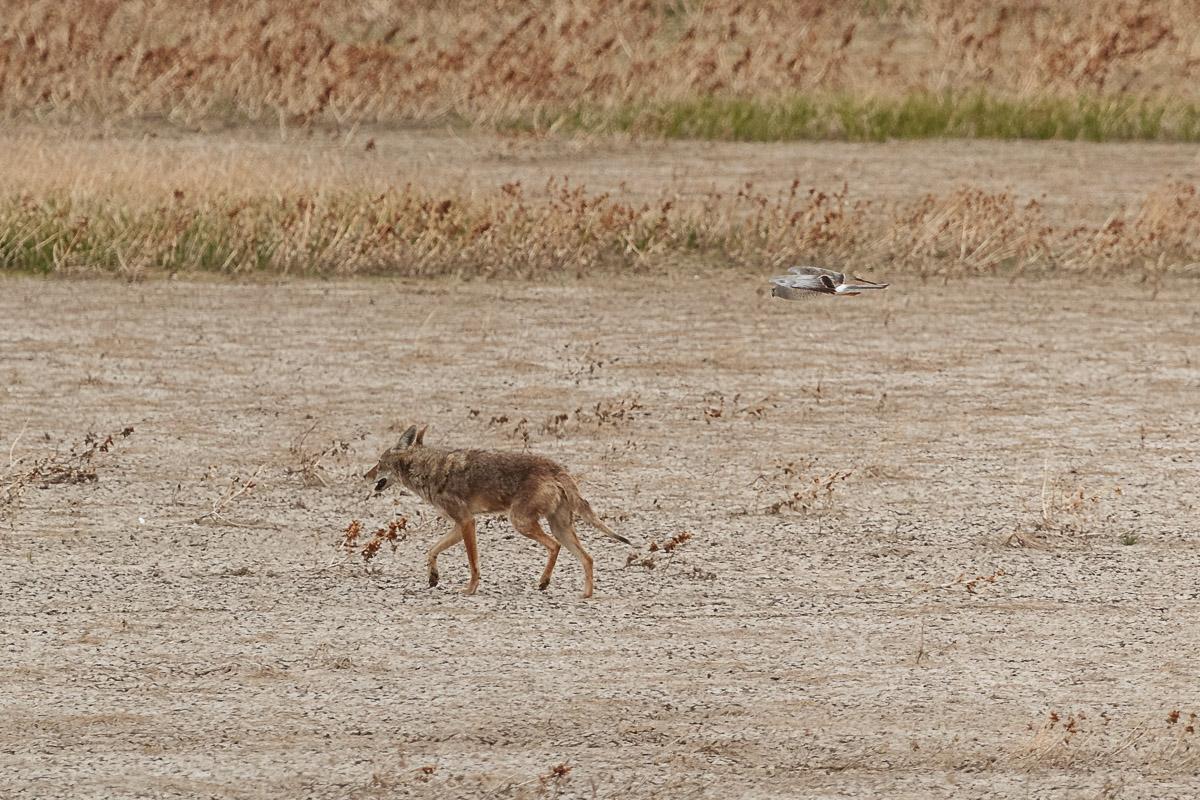 Name:  Coyote-4.jpg Views: 39 Size:  373.1 KB