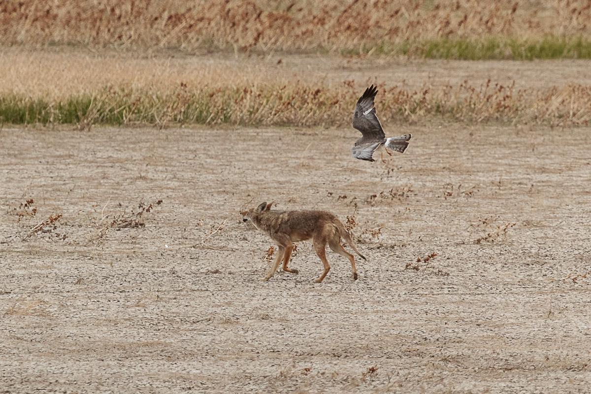 Name:  Coyote-5.jpg Views: 40 Size:  374.6 KB