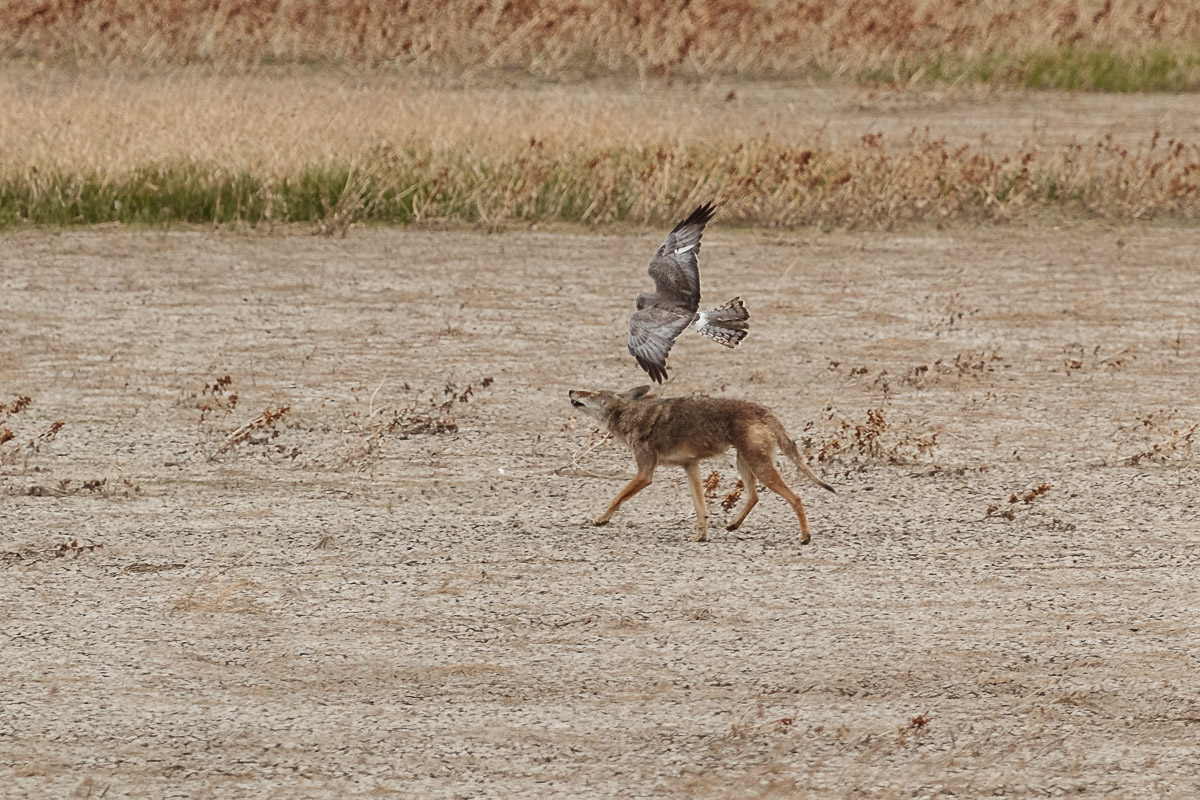 Name:  Coyote-6.jpg Views: 39 Size:  368.8 KB