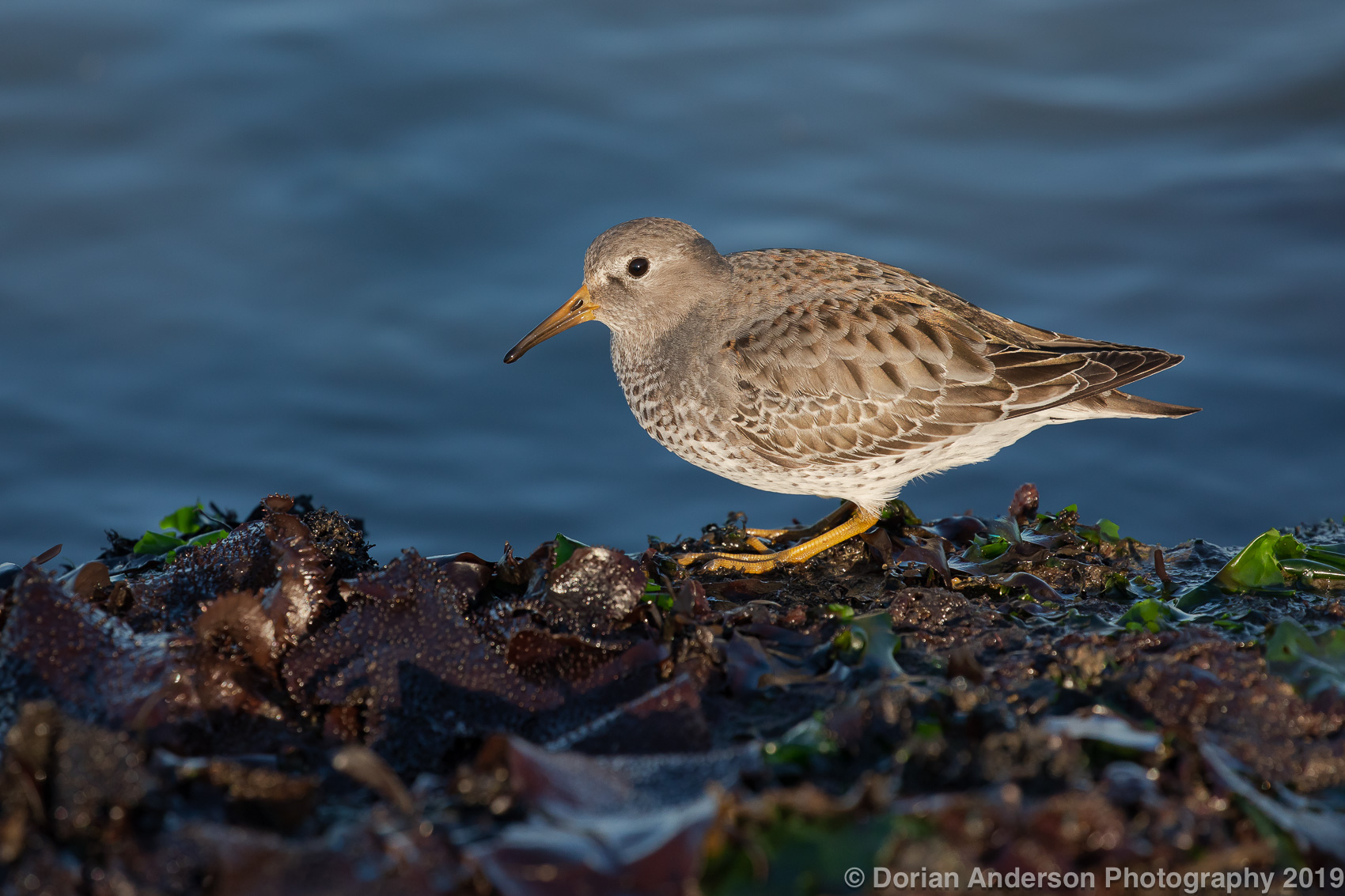 Name:  rock sandpiper 112319.jpg