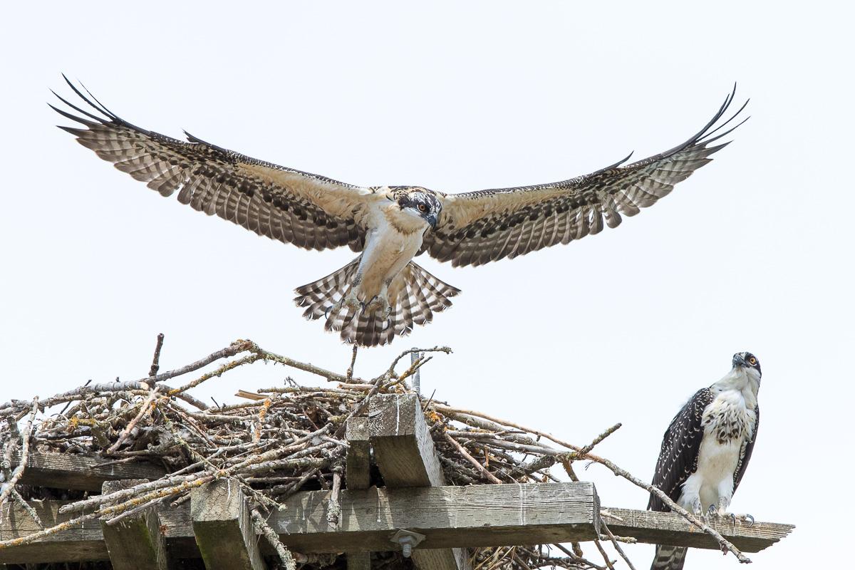 Name:  osprey-short-life-1_I0A2230.jpg Views: 84 Size:  293.2 KB
