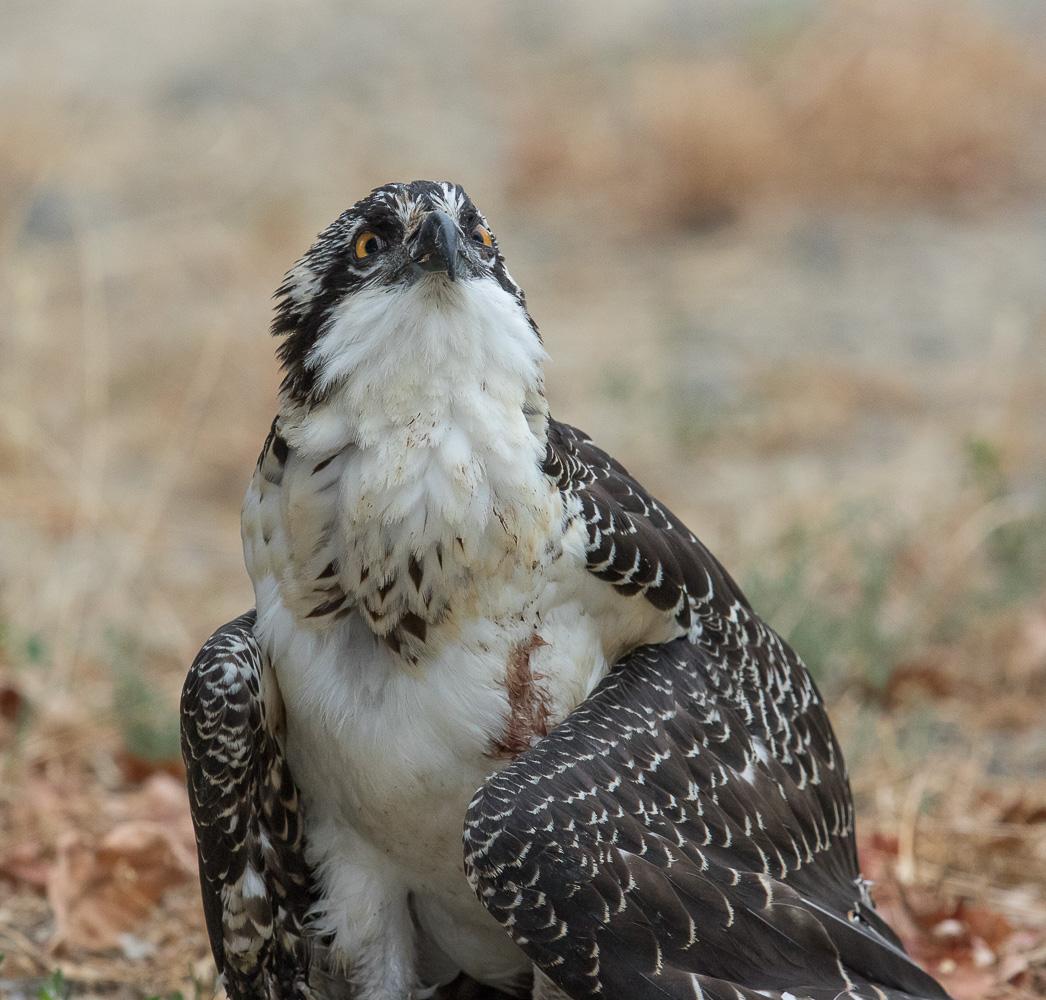 Name:  osprey-short-life-2_I0A2731.jpg Views: 85 Size:  346.0 KB