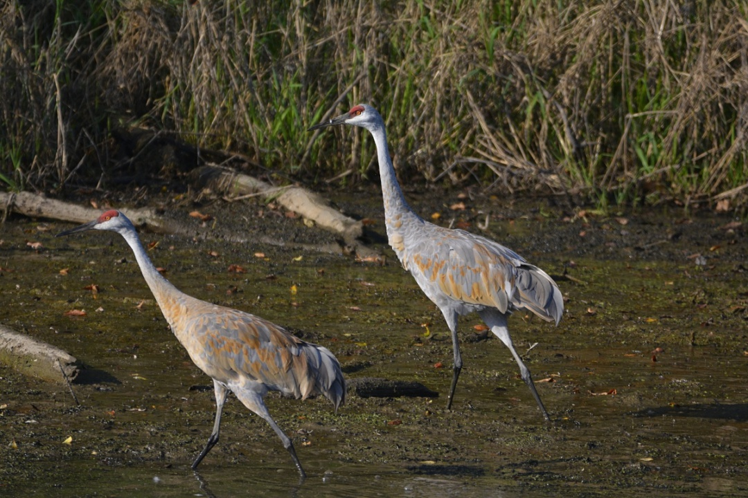 Name:  Sand Hill Crane pair- Pecatonica Wetlands.JPG