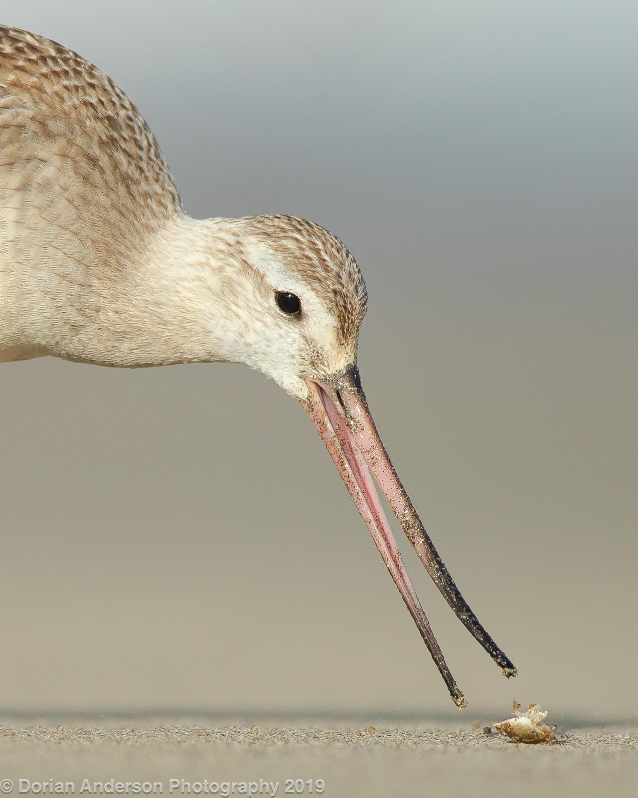 Name:  bar-tailed godwit eating sandflea 101719 head.jpg Views: 154 Size:  534.5 KB