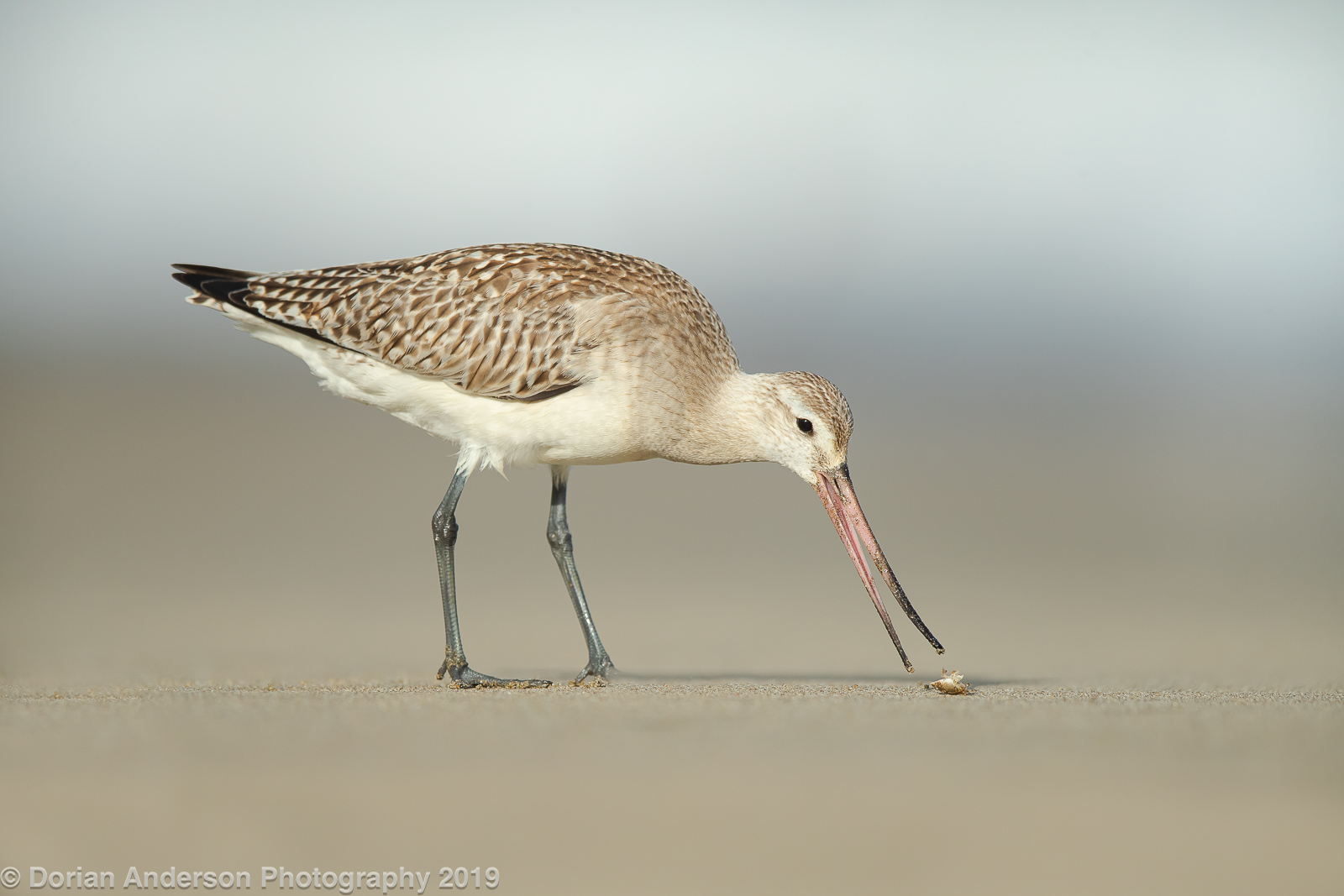 Name:  bar-tailed godwit eating sandflea 101719-3.jpg Views: 145 Size:  420.8 KB