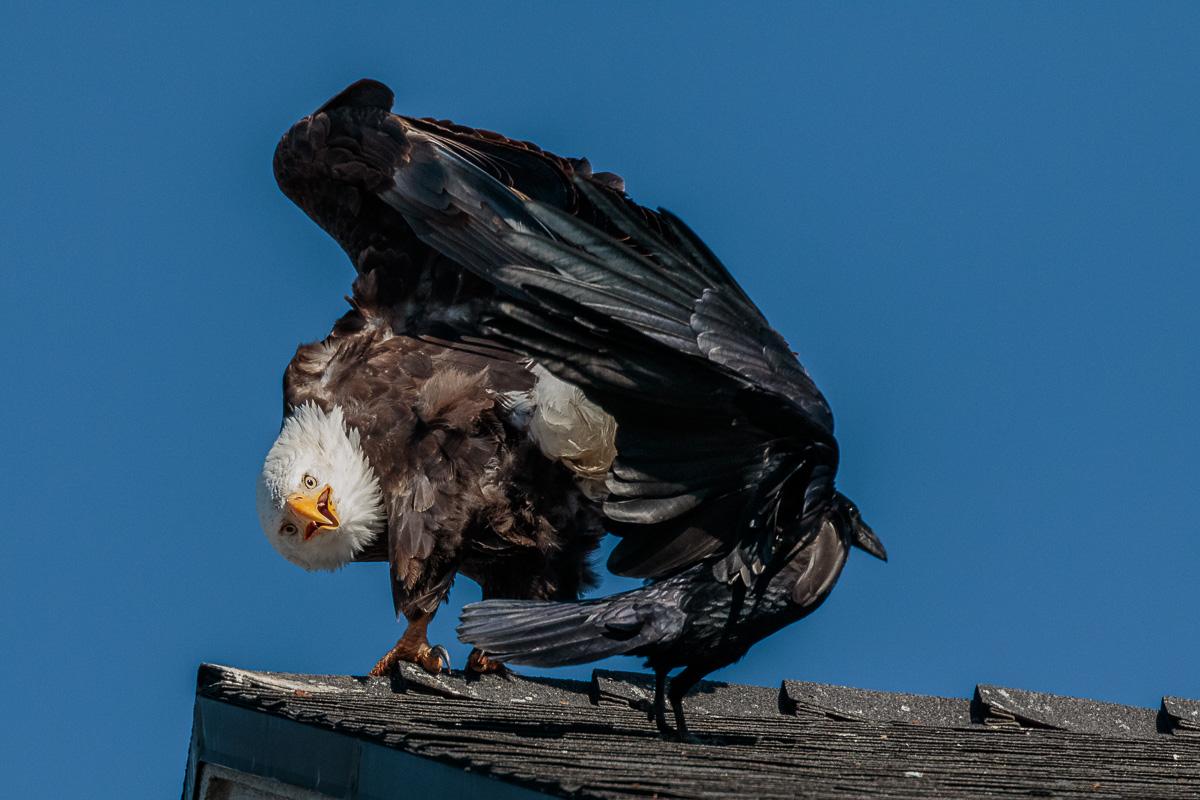 Name:  Bald Eagle-70.jpg Views: 80 Size:  276.9 KB