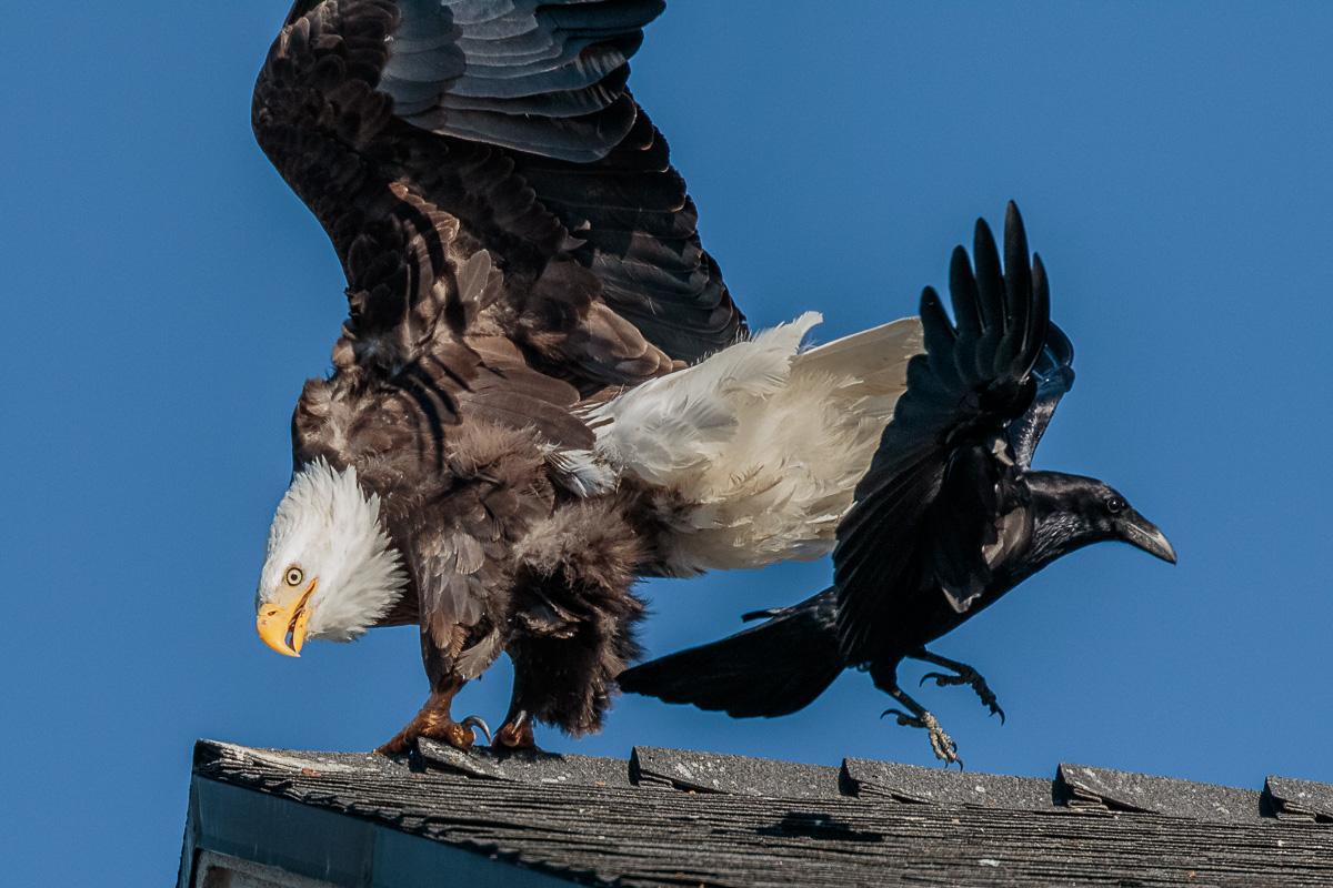 Name:  Bald Eagle-71.jpg Views: 80 Size:  314.4 KB