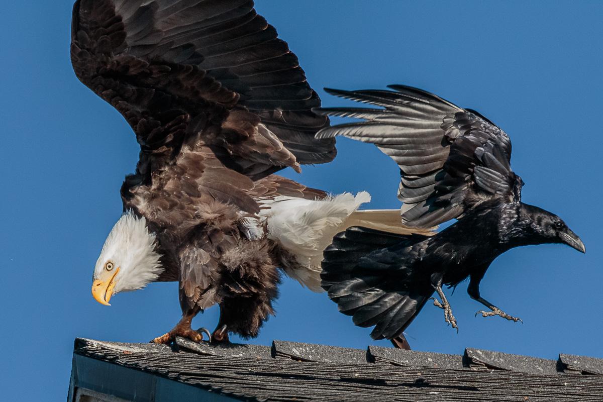 Name:  Bald Eagle-72.jpg Views: 79 Size:  338.2 KB