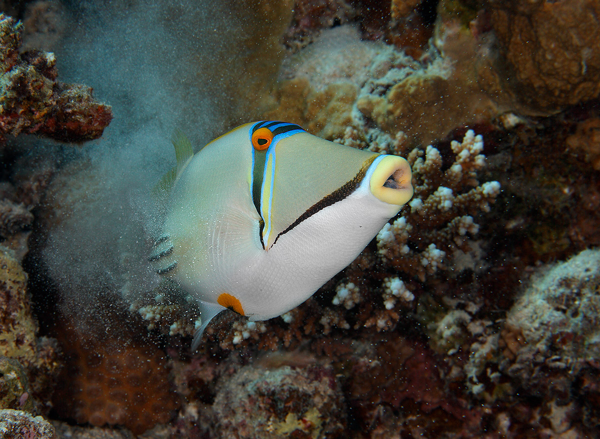 Name:  Picasso-triggerfish-exhale-BPN.jpg Views: 62 Size:  380.4 KB