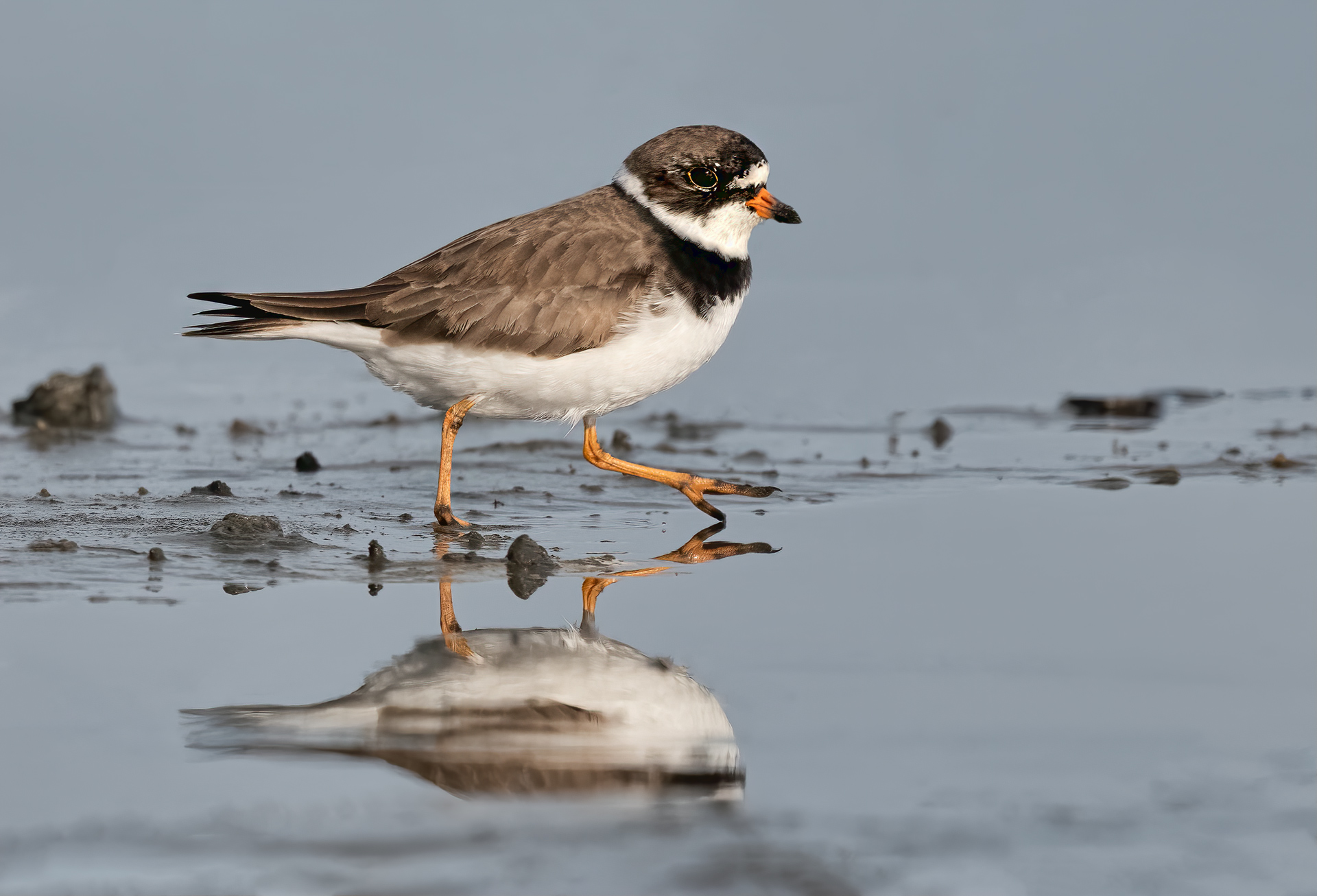 Name:  Semipalmated-Plover-2-copy.jpg