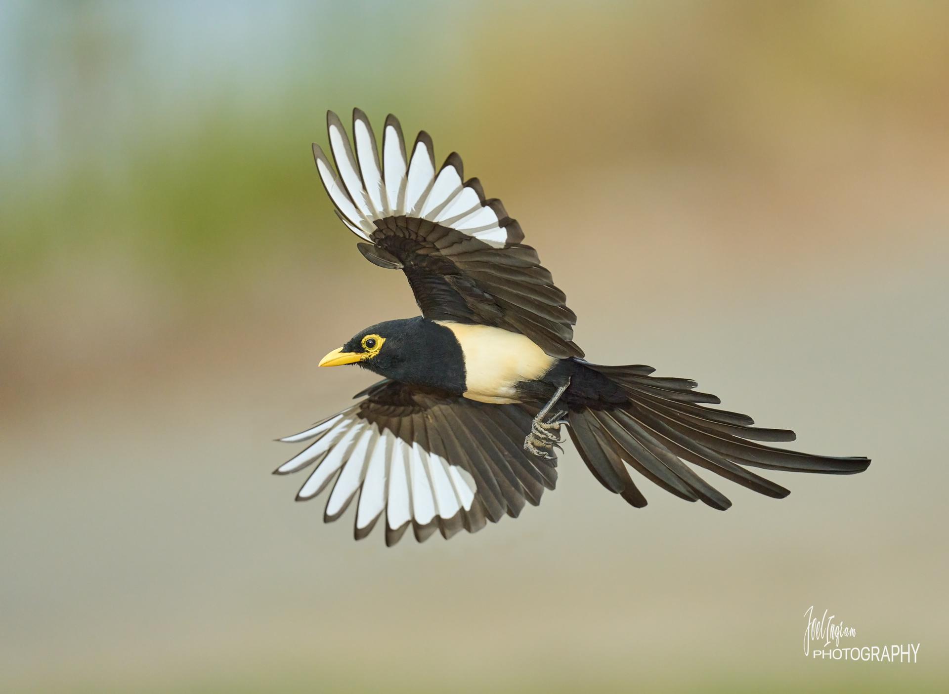 Name:  Magpie---the-get-away-b-bpn.jpg Views: 127 Size:  594.0 KB