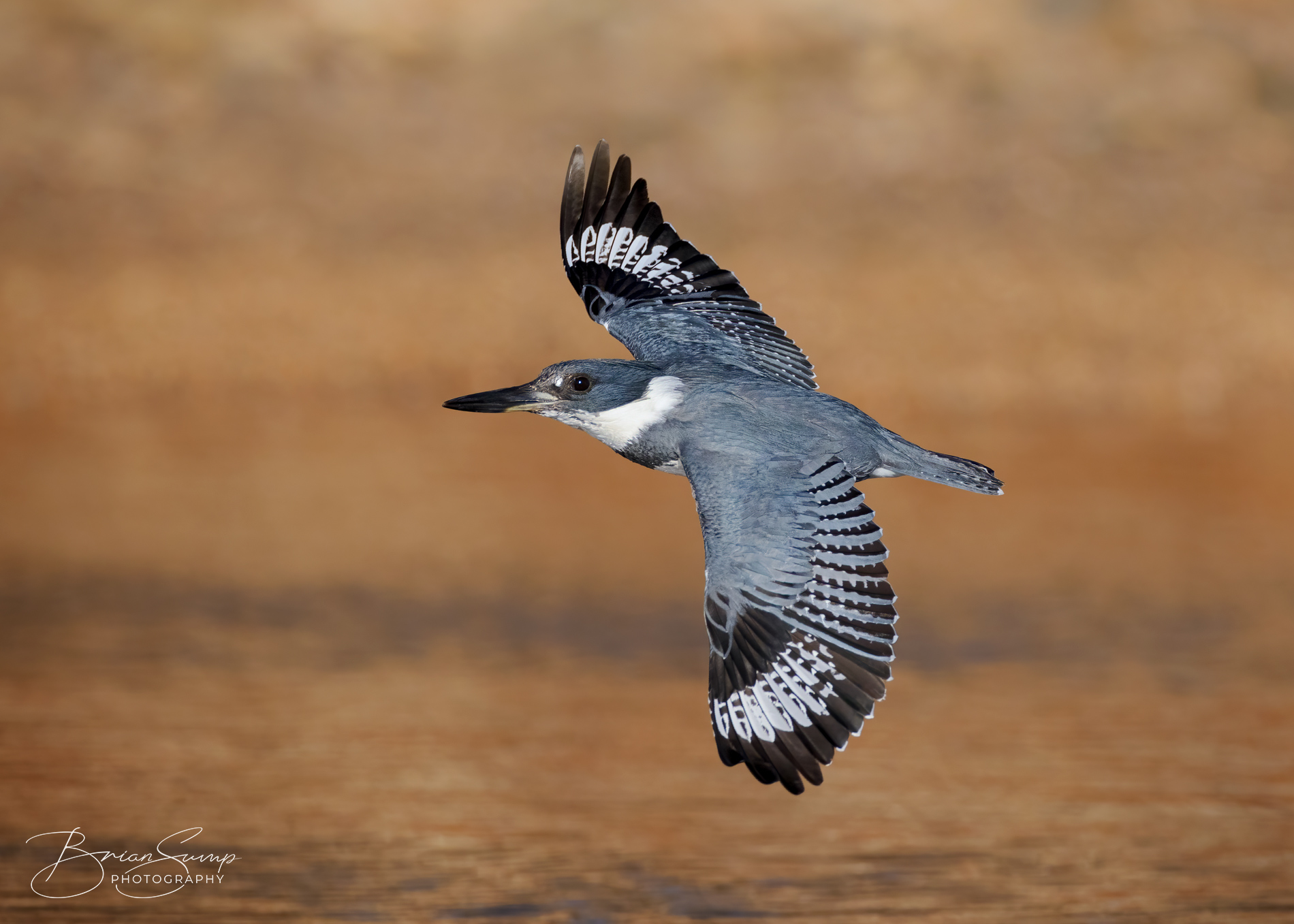 Name:  20210120-Belted-Kingfisher-flight-orange-Brian-Sump-BMS_8128-FORUM-4533pix-SW-L91-touch-v3.jpg Views: 215 Size:  579.4 KB