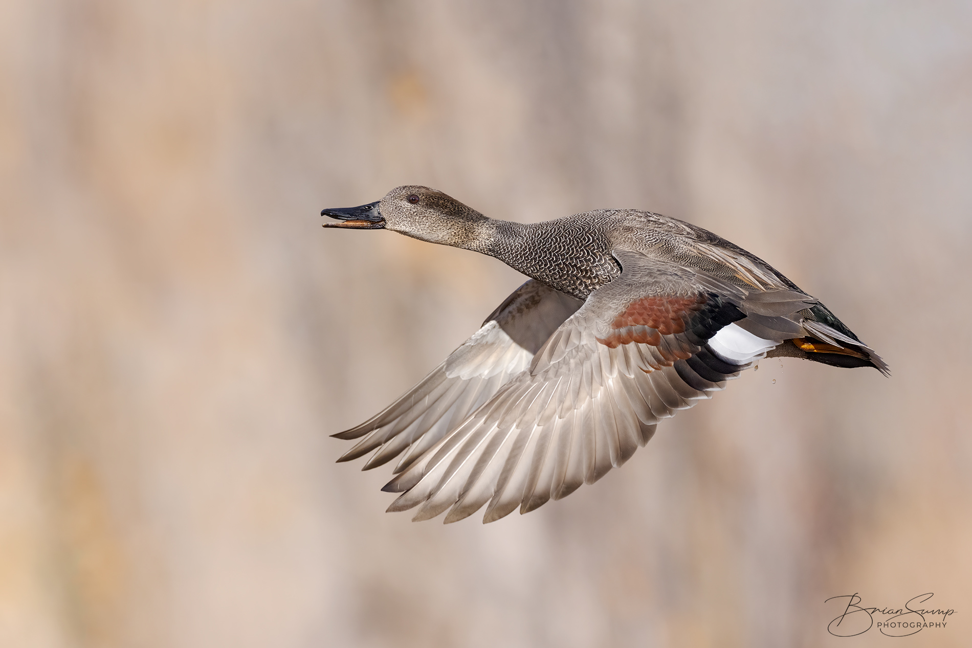 Name:  20201224-Gadwall-Drake-wingsdown-orange-1-Brian-Sump-BMS_6898-FORUM-SIG-touch-FINAL.jpg