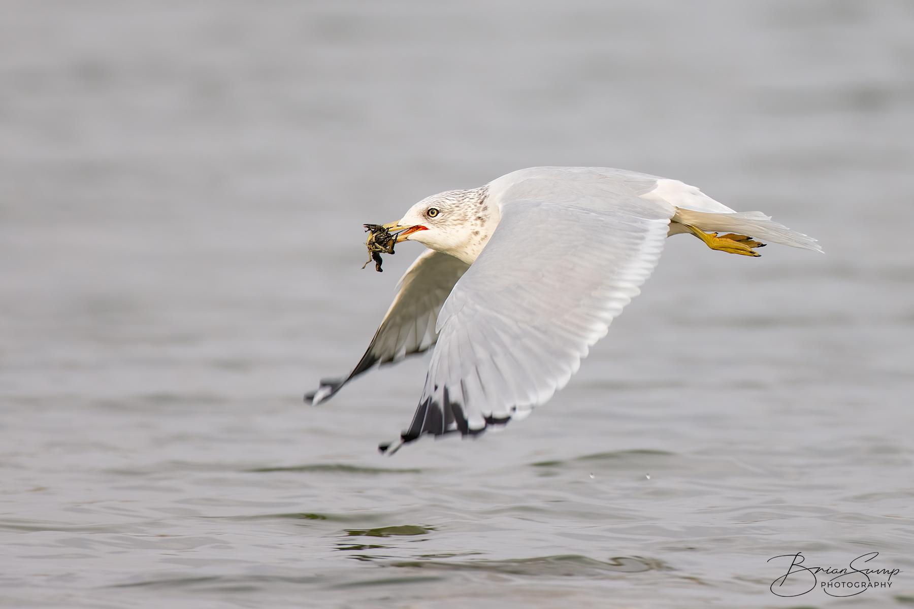 Name:  20201020-Gull-crawdad-wingsdown-Brian-Sump-BMS_9533-2-FORUM-SIG-USM170-touch-craw.jpg Views: 153 Size:  518.7 KB