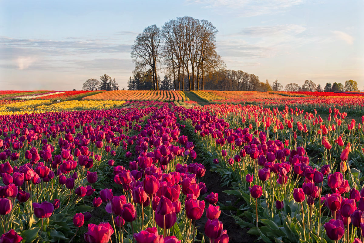Name:  Wooden-Shoe-Tulips-0040-for-web.jpg Views: 86 Size:  367.1 KB