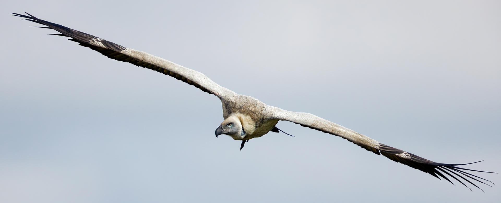Name:  Cape Vulture Small.jpg Views: 82 Size:  415.8 KB