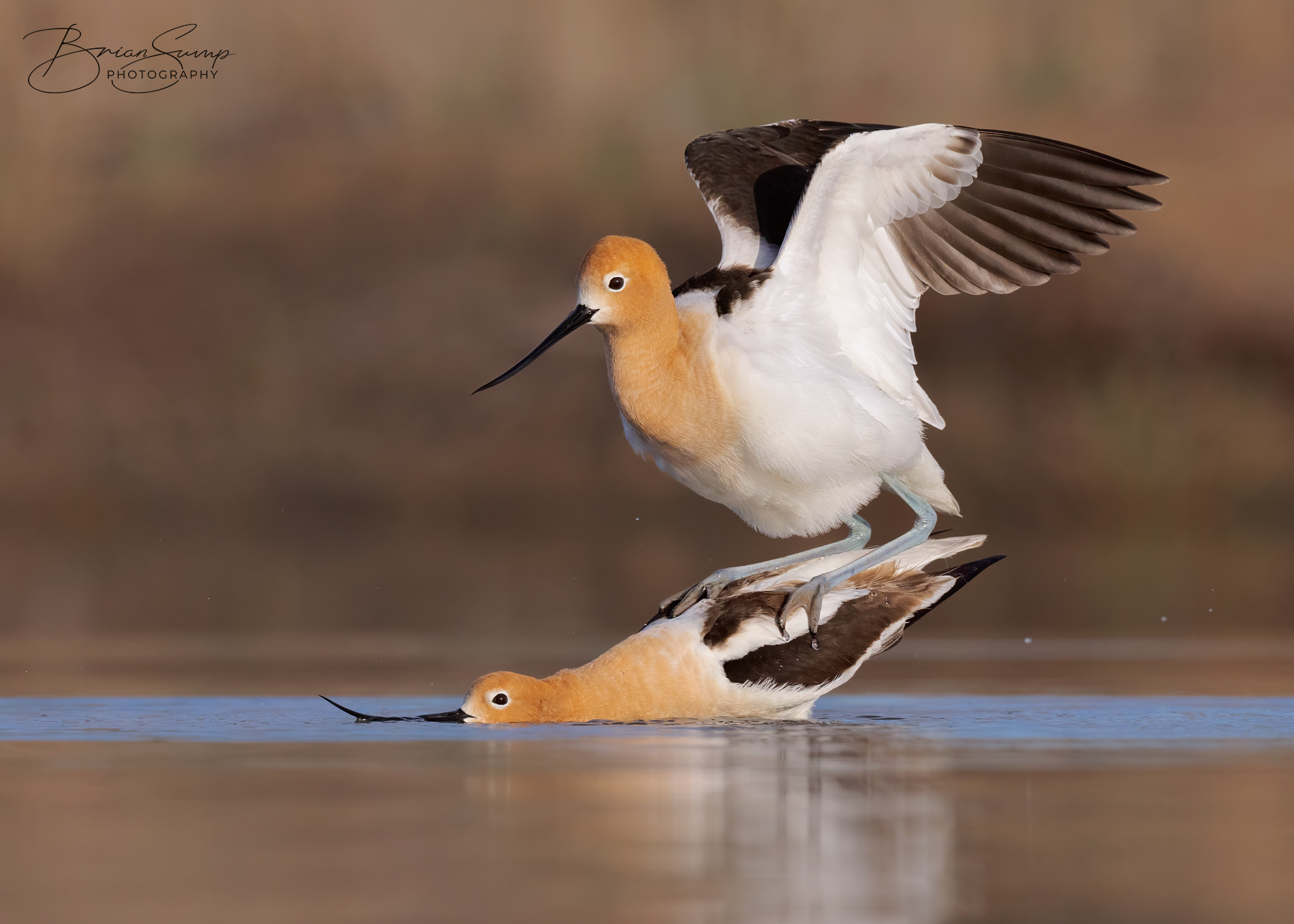 Name:  20210507-Avocets-Mating-2021-Warm-Brian-Sump-BSR50336-4410px-D60-brush-touch-recrop-v3.jpg Views: 168 Size:  588.5 KB