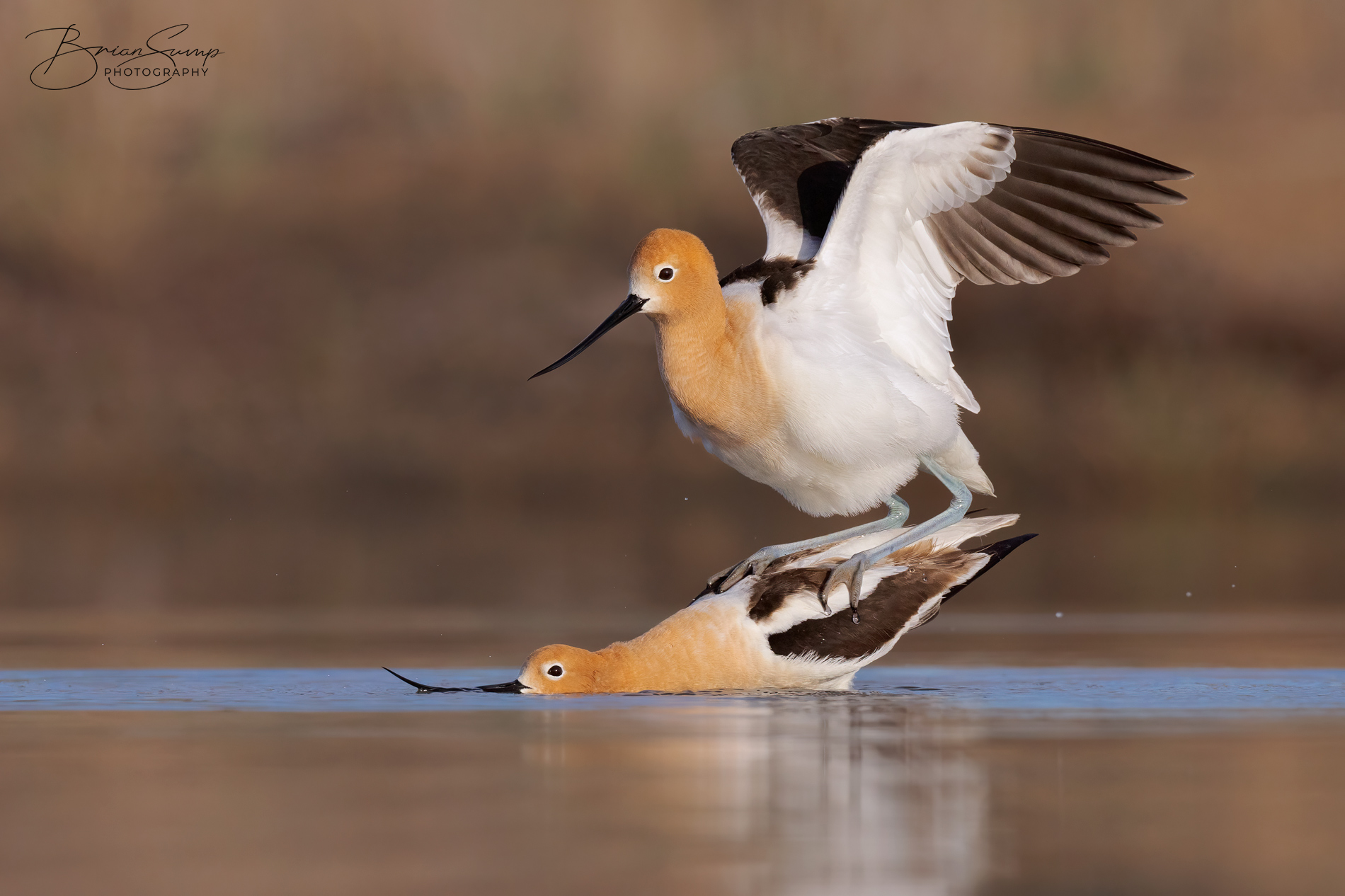 Name:  20210507-Avocets-Mating-2021-Warm-Brian-Sump-BSR50336-4410px-D60-brush-touch-2x3-v4.jpg Views: 148 Size:  588.0 KB