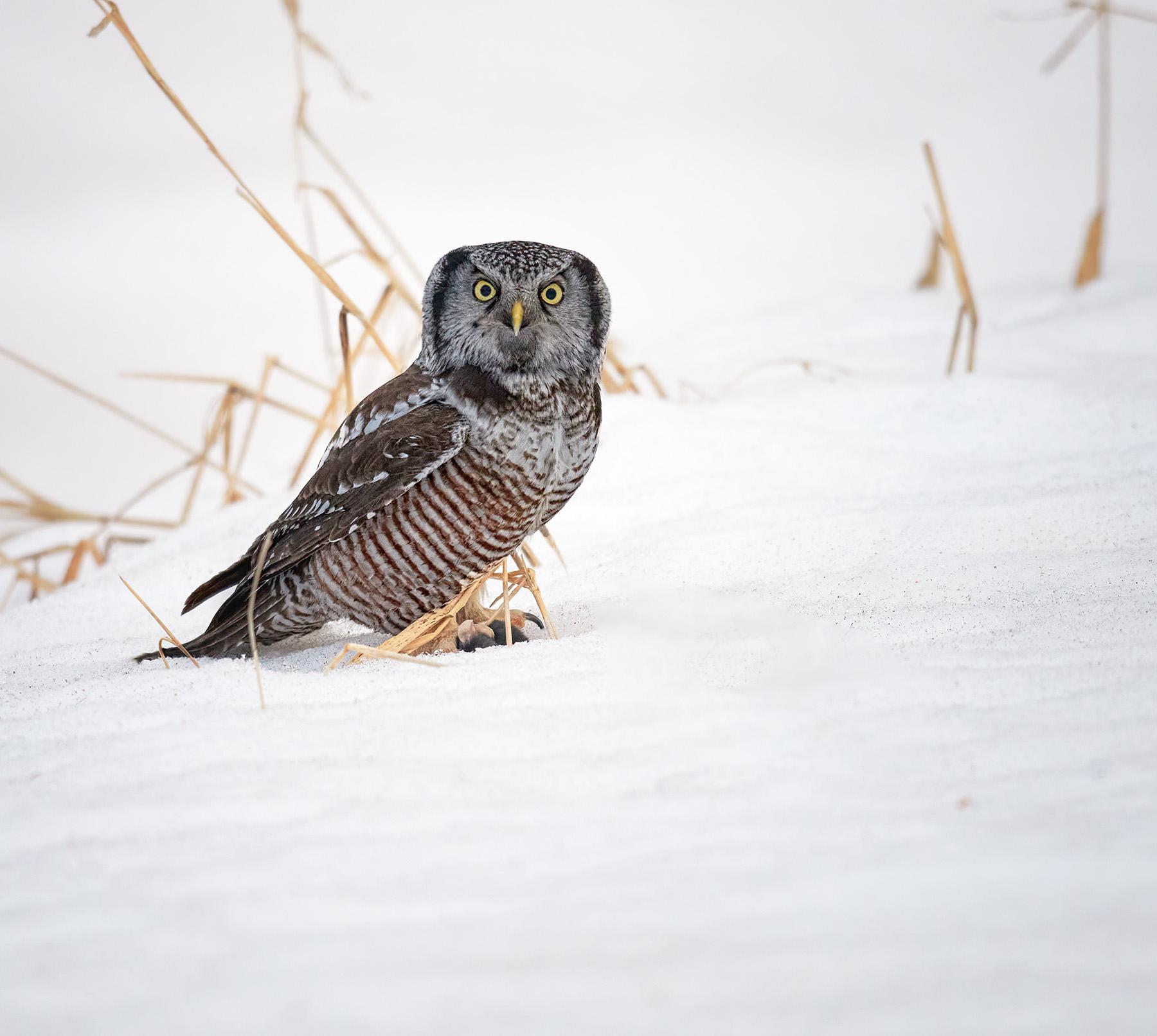 Name:  z adjusted hawk in snow.jpg Views: 93 Size:  442.5 KB