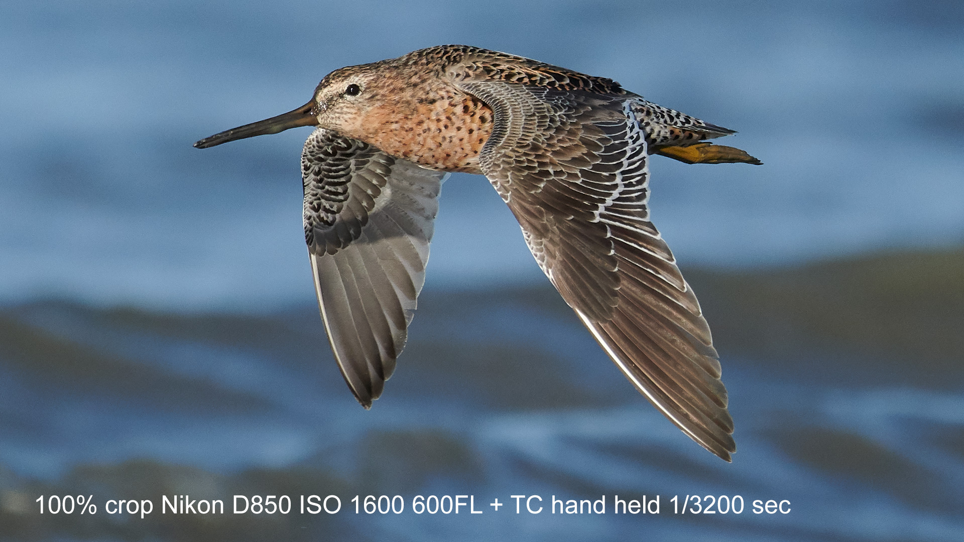 Name:  Dowitcher.jpg