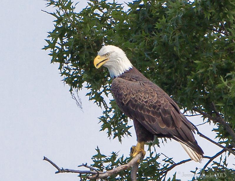 Name:  Adult Bald Eagle in tree Bear Swamp.jpg Views: 101 Size:  305.8 KB