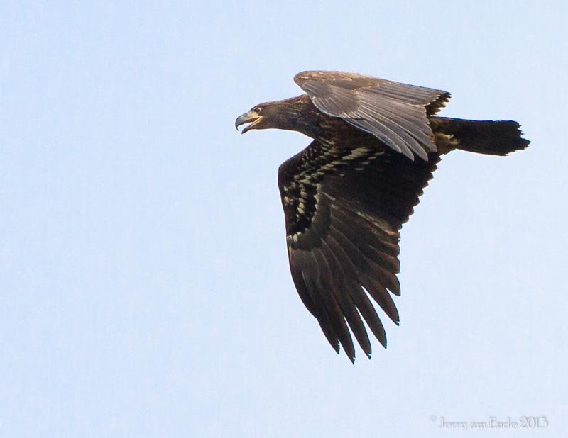 Name:  Bald Eagle - Bear Swamp Adult.jpg Views: 100 Size:  145.2 KB
