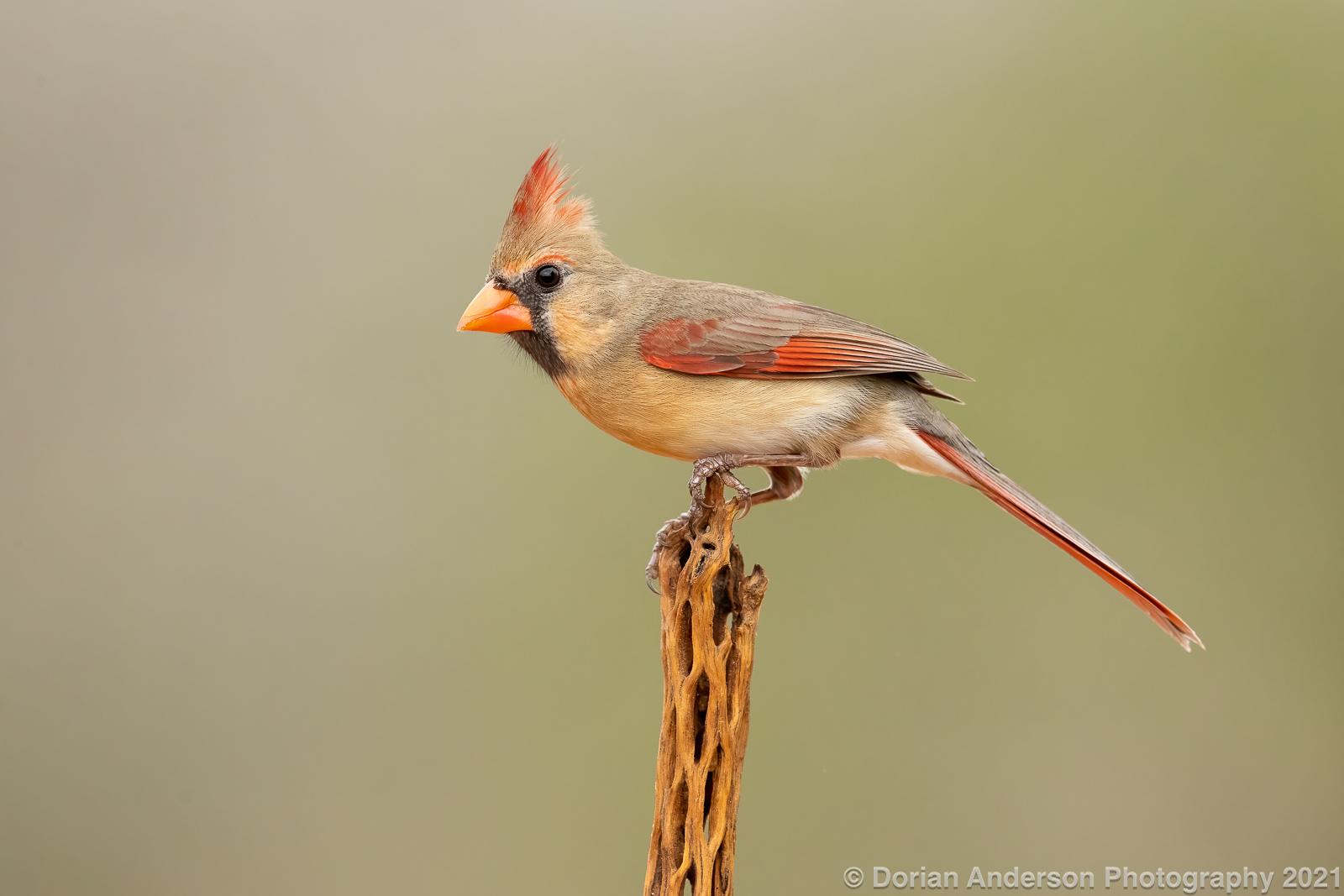 Name:  northern cardinal female 011921-Edit.jpg Views: 112 Size:  405.8 KB