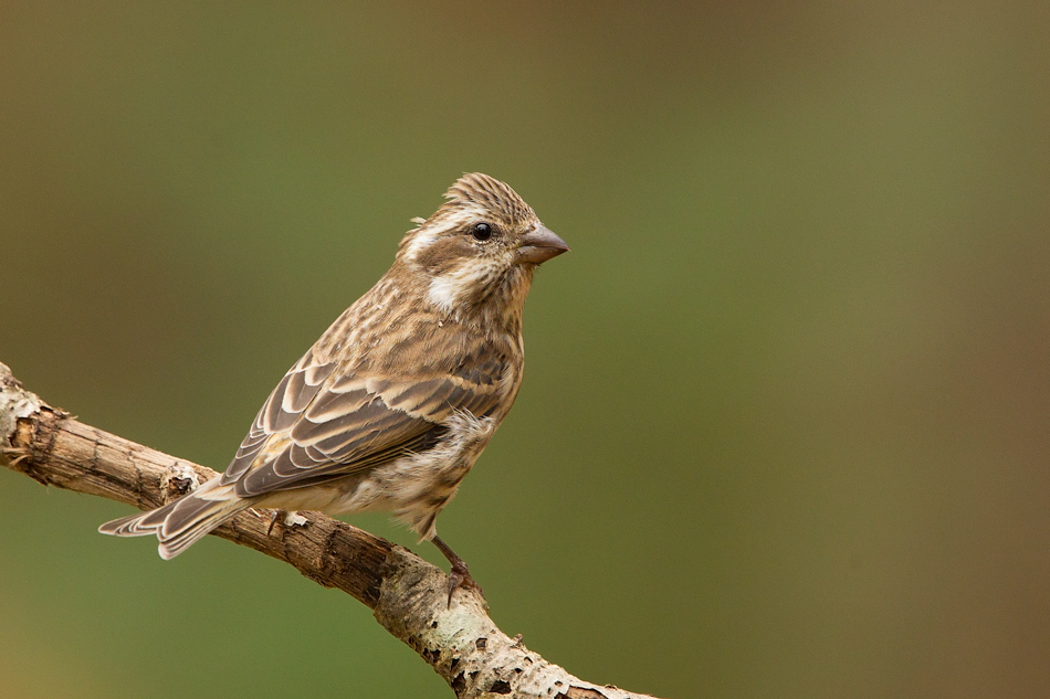 Name:  sparrow-unknown--on-twig-EA7G0856.jpg