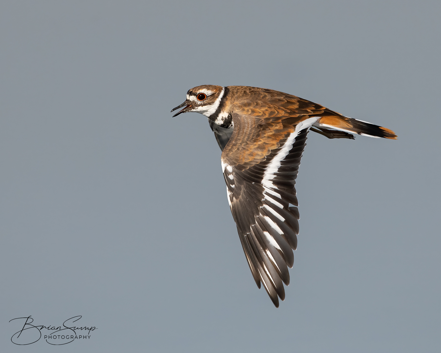 Name:  20200902-Killdeer-wingsdown-Brian-Sump_BMS4644-FORUM-SIG-SS35_.3-touch-brush.jpg