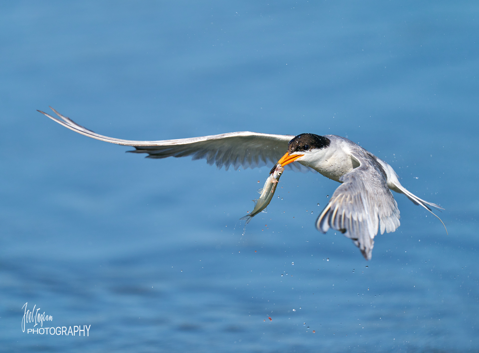 Name:  Tern and bloody catch-denoise-wm bpn.jpg Views: 100 Size:  573.8 KB