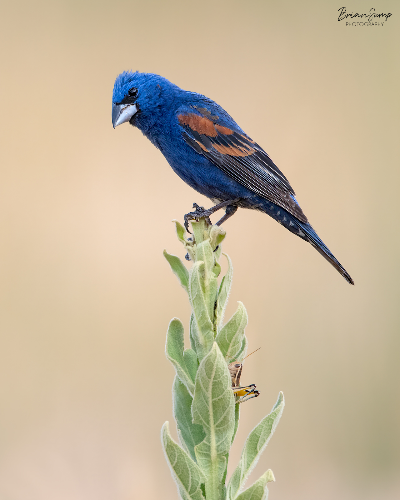Name:  20200722-Blue-Grosbeak-Hide-and-seek-Brian-Sump_BMS5214-7-FORUM-SIG-touch.jpg