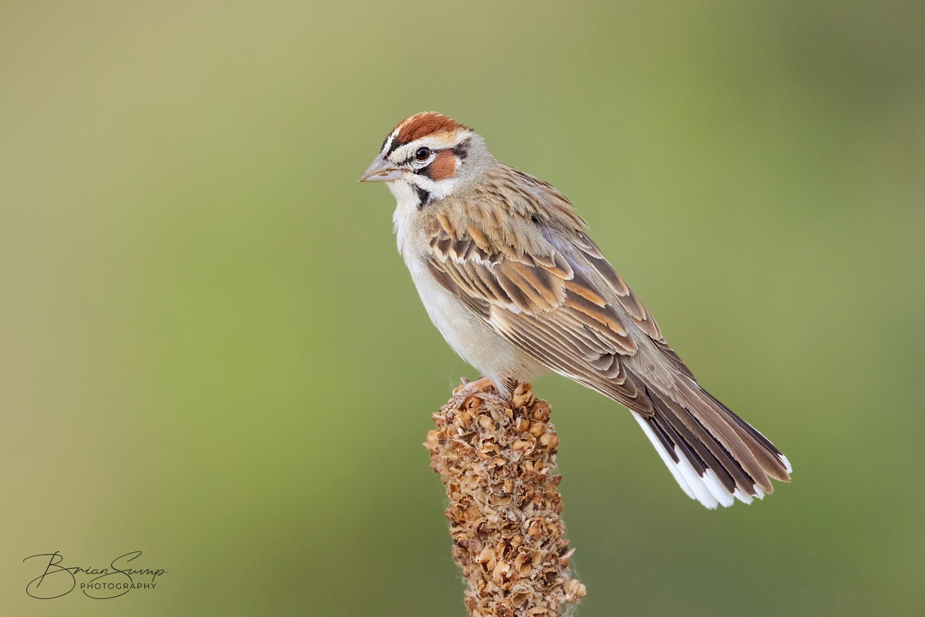 Name:  20210619-Lark-Sparrow-Mullein-lookback-Brian-Sump-BSR52695-7404px-L65brush-D32brush-blacksatCORR.jpg Views: 128 Size:  566.0 KB