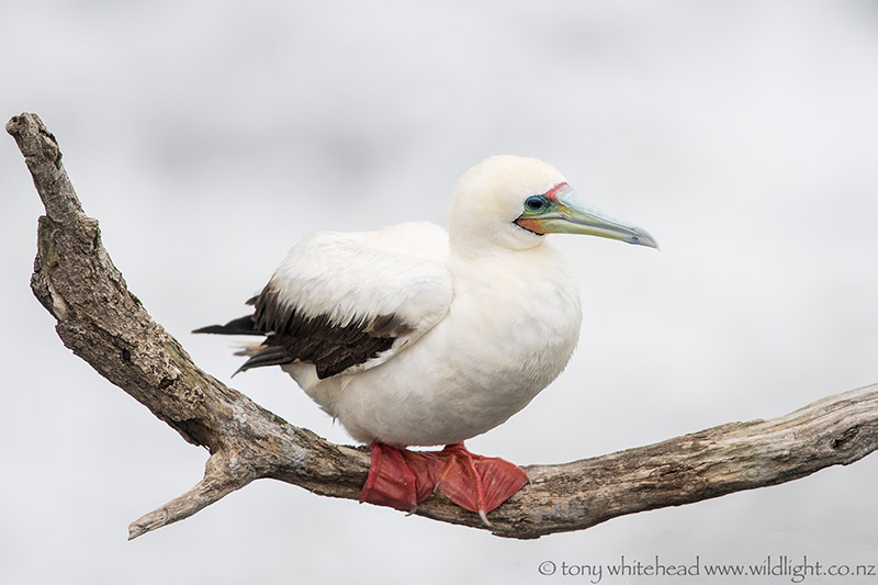 Name:  Red-footedBooby_DSC3127-web.jpg Views: 120 Size:  101.3 KB