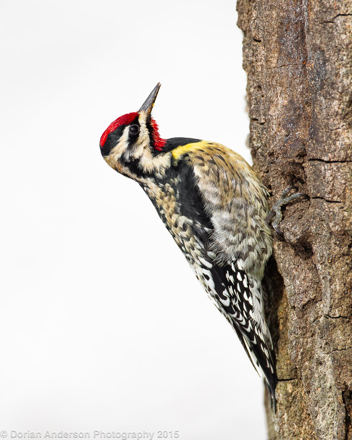 Name:  yellow-bellied sapsucker A 021615.jpg