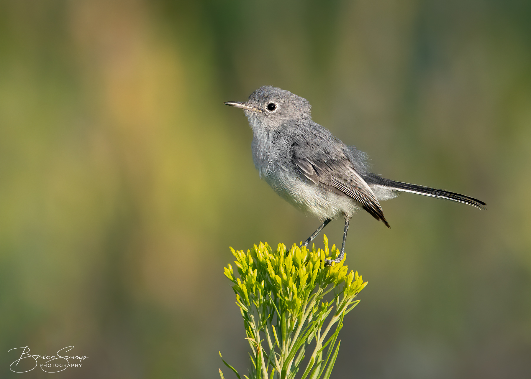 Name:  20200816-Blue-gray-Gnatcatcher-Rabbitbrush-SINGLE-Brian-Sump_BMS9244-FORUM-SIG-USM42_.3-touch.jpg